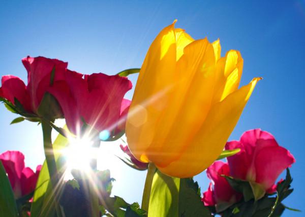 Sunshine Tulips Fototapete
