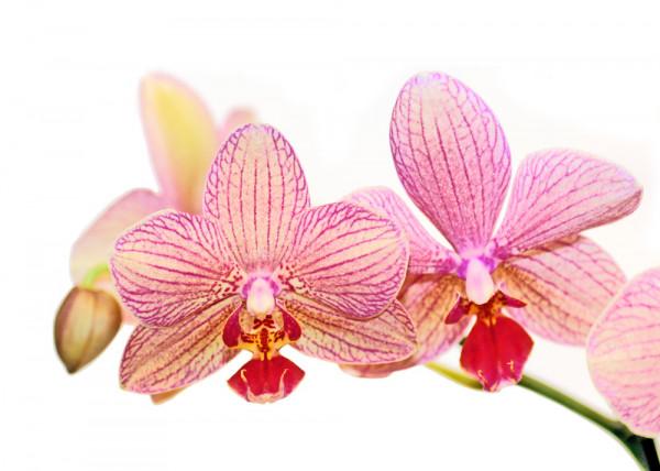 Orchideen 3 (White Series) - Fototapete