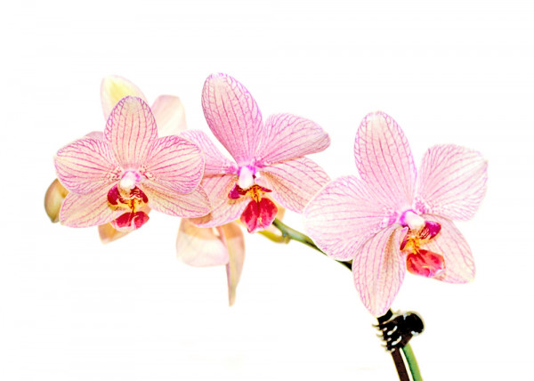 Orchideen 3 (White Series) Fototapete