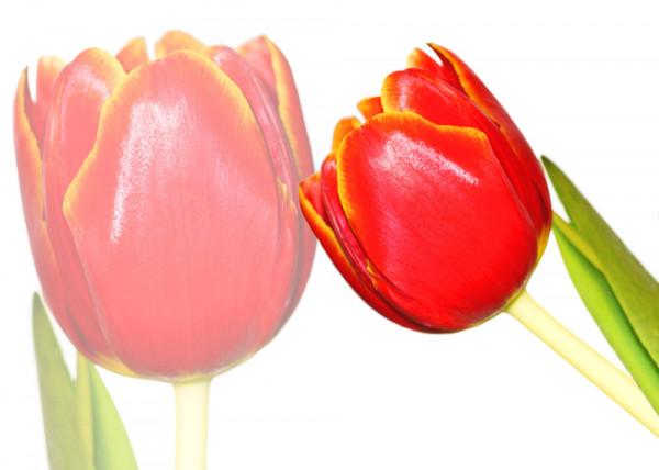 Red Tulip 148 Fototapete