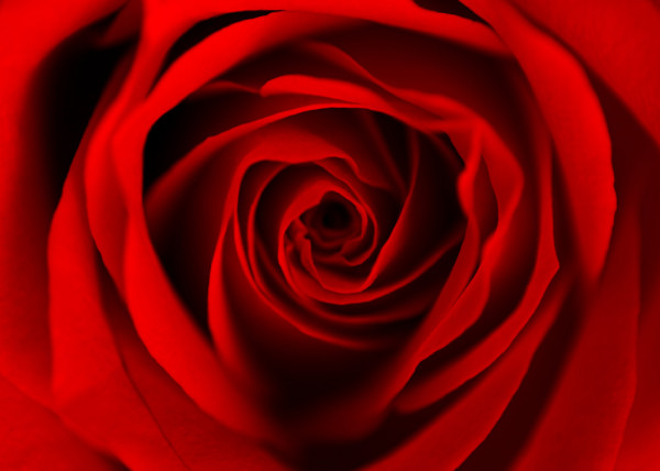 Fototapete Red Dreaming Rose 150